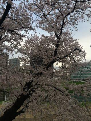 岡崎桜011