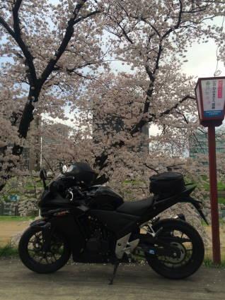 岡崎桜012