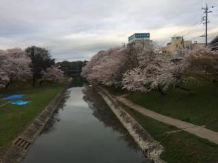 岡崎桜014