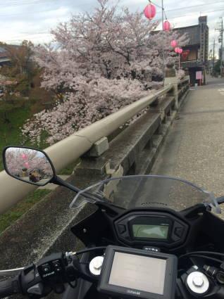 岡崎桜015