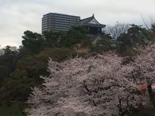 岡崎桜016