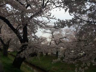 岡崎桜017