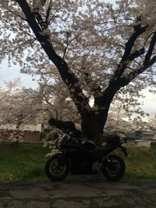 岡崎桜019