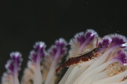 ヒラツノモエビ1種3