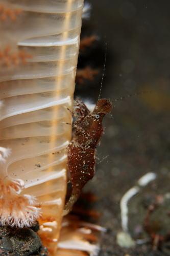 ヒラツノモエビ1種1