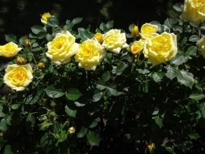 6月21日 ミニバラ 黄