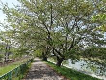 11:32 白石川堤一目千本桜