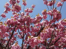 12:10 八重桜