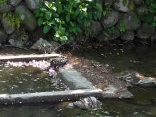 14:33 沢端川に亀がいます。