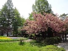 10:42 勾当台公園 ~ 八重桜が見頃です。