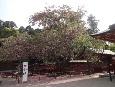 7:53 鹽竈桜