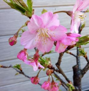 SS20150314庭の桜さく