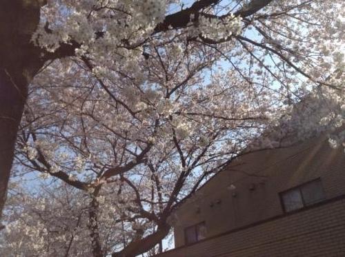 S20150330桜ヶ丘幼稚園の桜