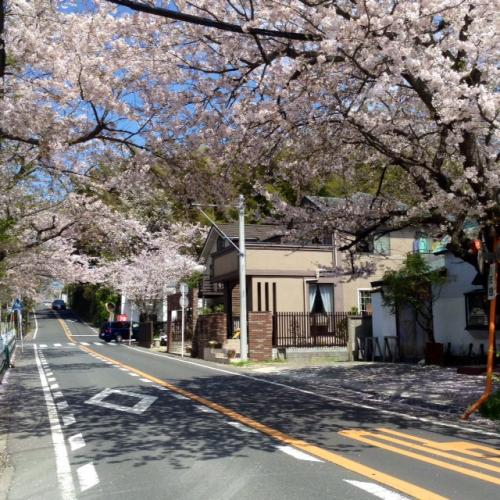S20150406鎌倉山桜並木