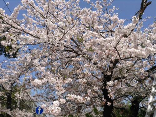 S20150406鎌倉山満開桜