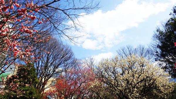 小石川後楽園の梅と空
