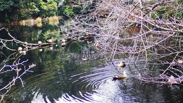 玉藻池のカモ