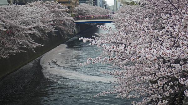 目黒川 散った桜 2