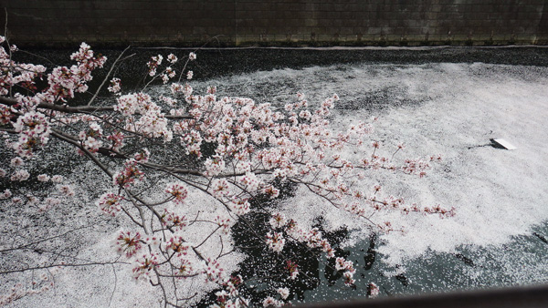目黒川散った桜4