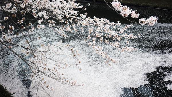 目黒川 散った桜5