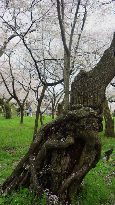 老木の若返り