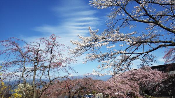 光前寺の門前近くの桜