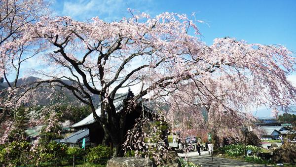 名物しだれ桜
