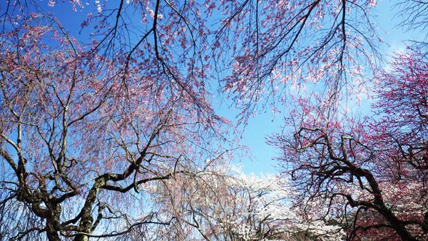 いろいろな桜