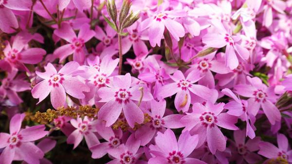 芝桜 オータムローズ