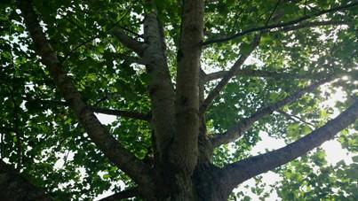 くつきの森 木の下