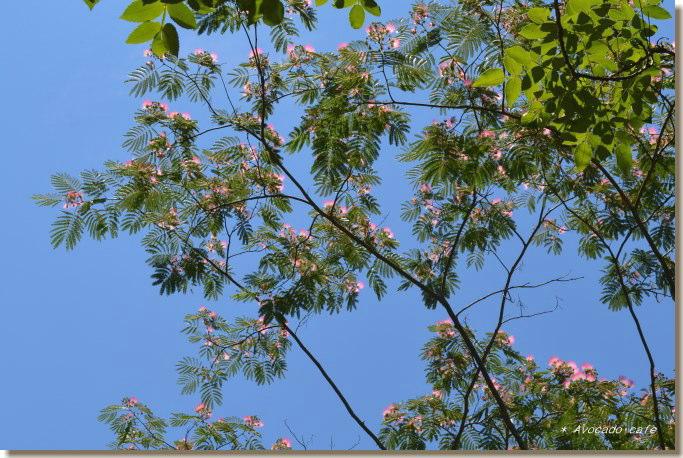 合歓の木の花と青空
