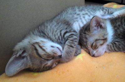 さらに10日後チーノちゃん(現たまちゃん)とロンちゃんのお昼寝