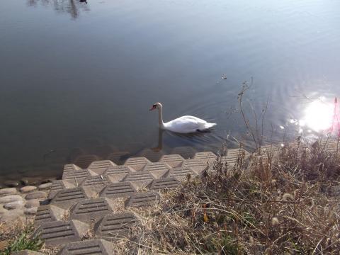 北柏ふるさと公園 白鳥