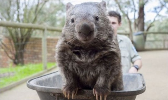 the_oldest_living_wombat_in_the_world_640_04-550x330.jpg