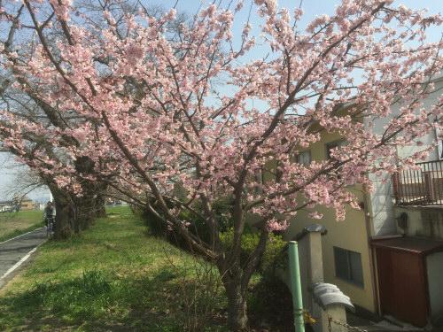 桜みたいな木