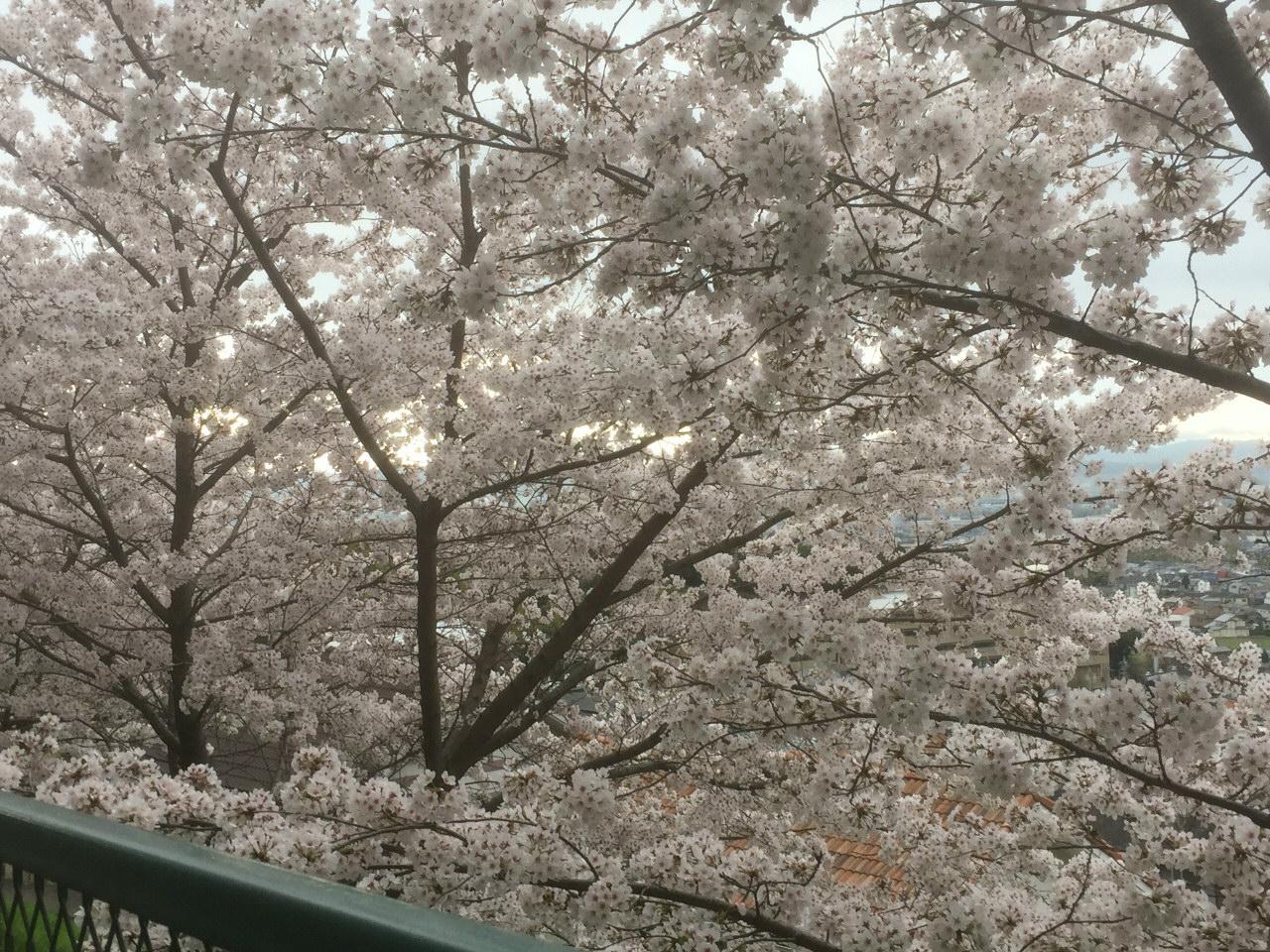 京都桜並木_1