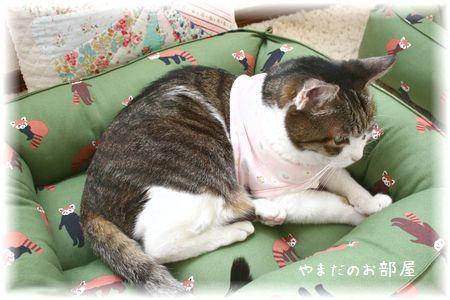 レッサーパンダの猫ベッドとスーちゃん⑦