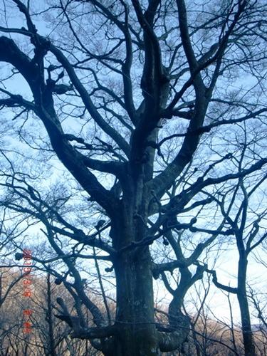 005 ブナの木