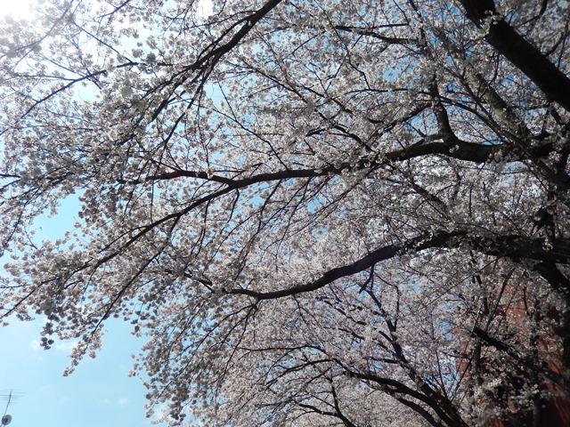 桜20150402002