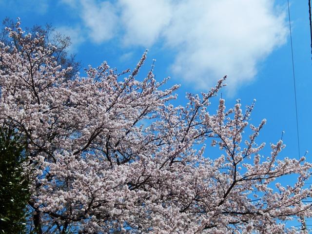 桜20150402003
