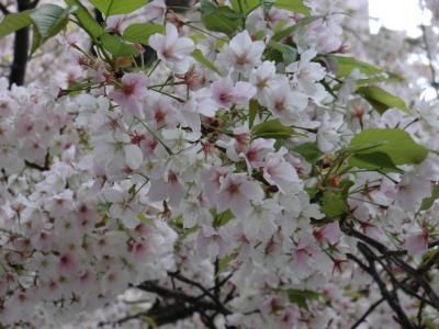 20150401桜1