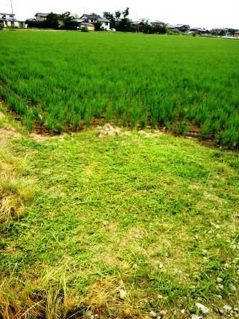 畦畔草刈り150621b