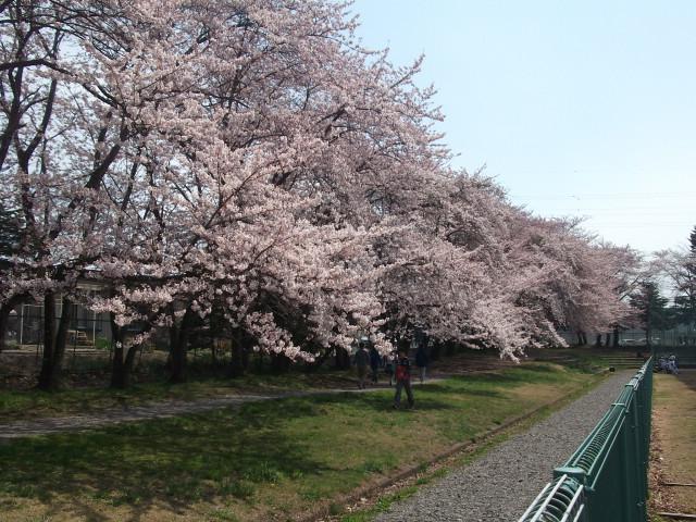 運動公園の桜並木