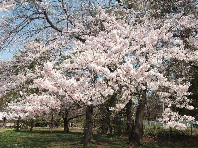 県営運動公園の桜