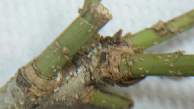 卵ウラジロミドリシジミ