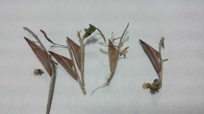 クモツキ蛹1