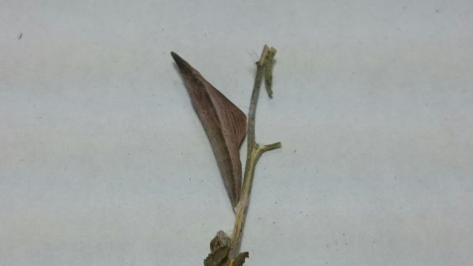 クモツキ蛹2