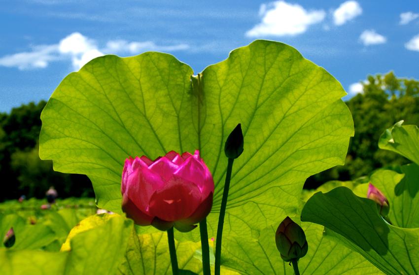 日本庭園ハス03