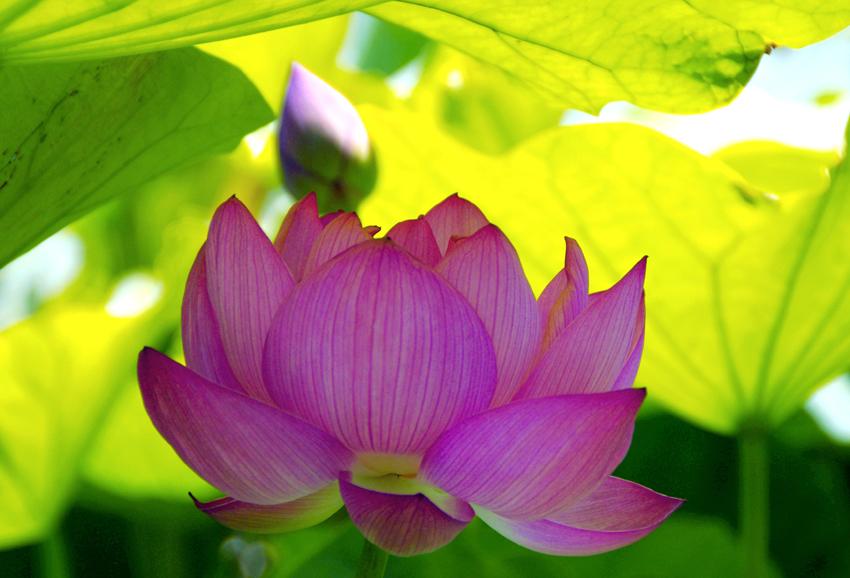 日本庭園ハス02