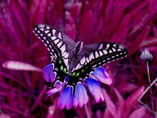 butterfly_HSVplus120.jpg